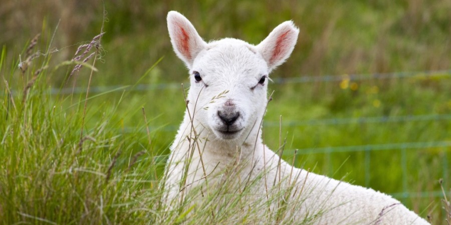 NFU calls for Tesco to be explicit on lamb sourcing