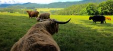 cattle-grazing